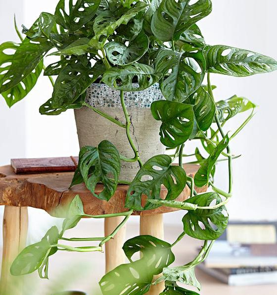 Grünpflanze Boho Stil