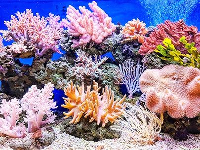 Korall rev