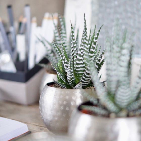 Stripet Kaktus