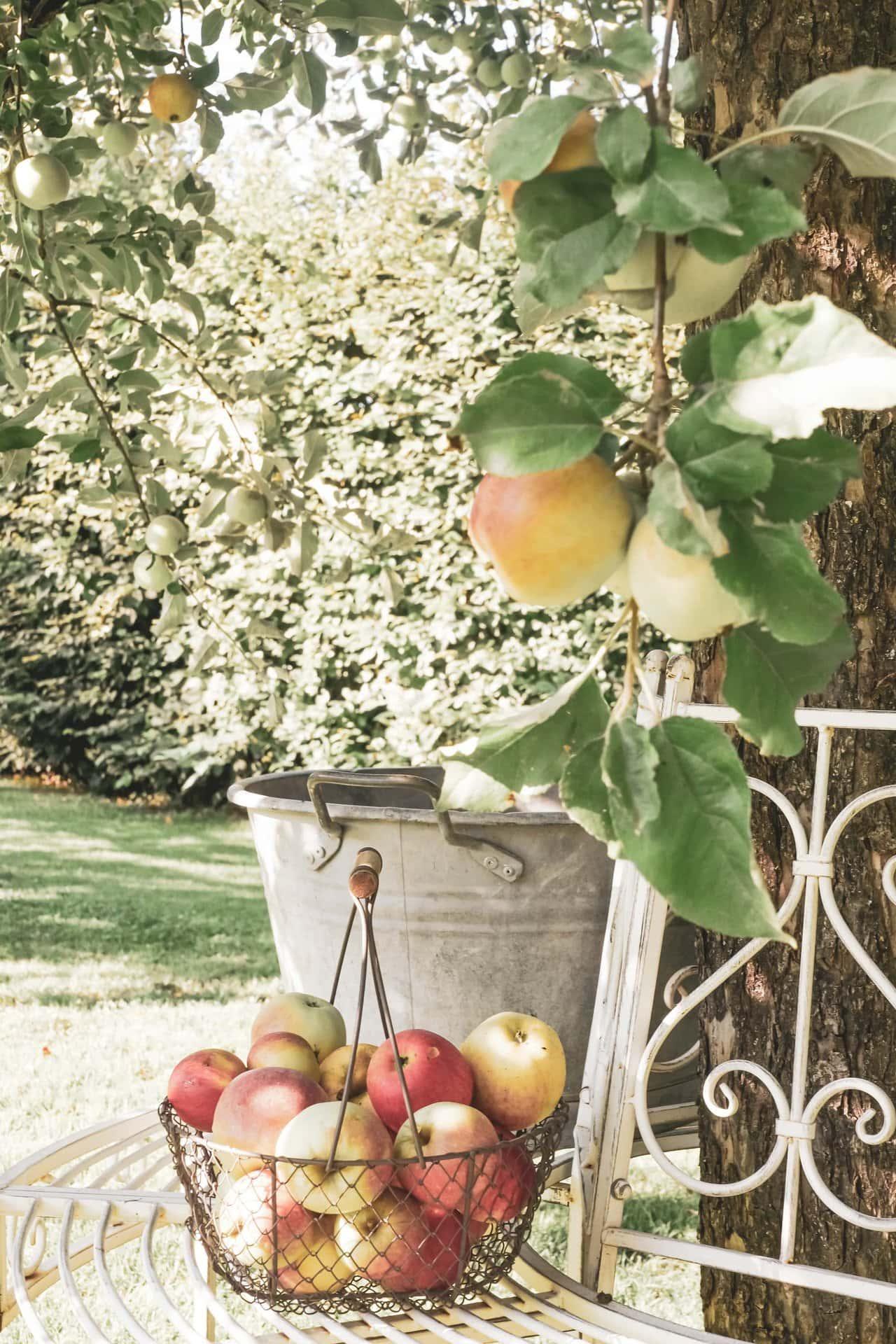 Apfel im Landhausgarten für die Gastgeberin als Gastgebergeschenke