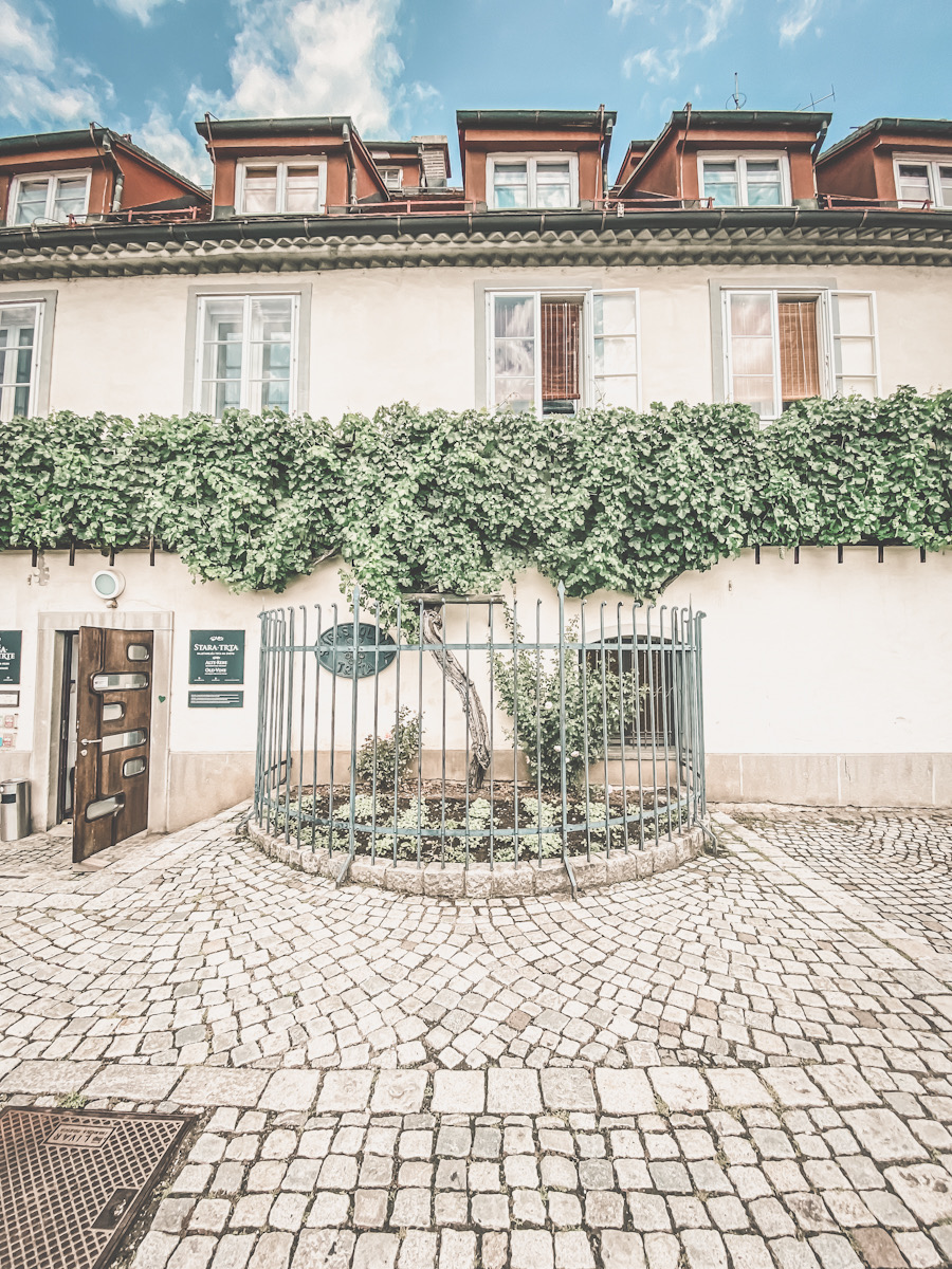gammel vinranke Maribor